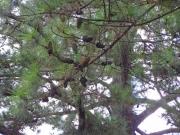 豊橋公園のテーダ松の松笠
