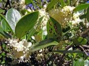 シナヒイラギの花