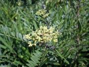 イヌザンショウの花