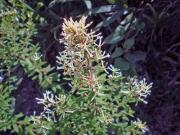 コガンピの花