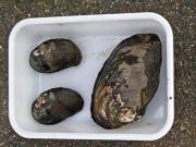 左、マツカサガイ(愛知県絶滅危惧ⅠA)と右、ドブガイ