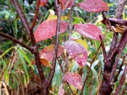 ナガボナツハゼの紅葉