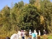 ヤブニッケイの大木