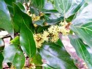 シロダモの雄花