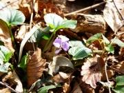 日だまりのタチツボスミレの花