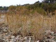 河川敷のヨシとツルヨシ