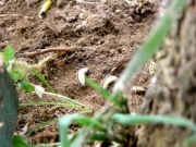 地面の幼虫