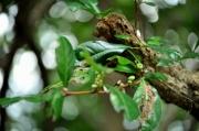 絶滅危惧II類のカンコノキの果実