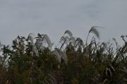 オギの花穂