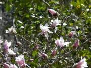 シデコブシの開花のようす