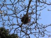 シデコブシの木の上のヒヨドリの巣