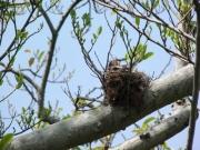 オガタマノキのヒヨドリの巣跡