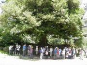 幹周360cmのイスノキの巨木、吉田城の時代を知る。恒川氏記載種