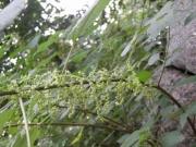 石垣のヤブマオウの花