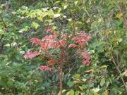 ヤマハゼの紅葉