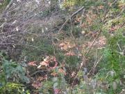 ヤマウルシの紅葉