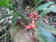 ハナミヨウガの果実