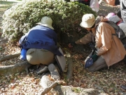 エノキの根元でのゴマダラチョウの幼虫探し