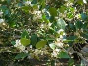 匂いがこころ良いヒイラギの花