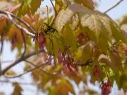 ハナノキの雌花「花かんざし」