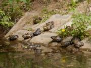 カエル池のウシガエル