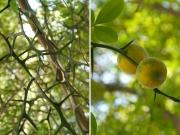 カラタチの枝と果実