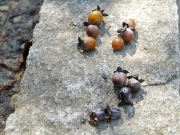 シナノガキの果実