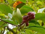 ハクモクレンの果実