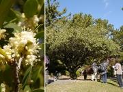 ヒイラギと香り立つヒイラギの花