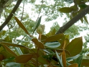 タイサンボクの果実