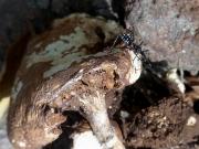 キノコに来る虫を狙うヨコヅナサシガメ