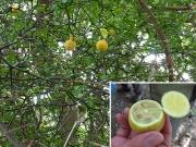 カラタチの果実