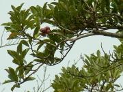 オガタマの果実