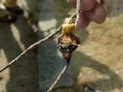 寄生され死んだアゲハの蛹