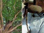 低い枝にも葉がよく付くイスノキとその虫こぶ