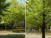 枝が上方に伸びるイチョウの雄木とやや横に伸びる雌木