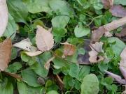 ケヤキの葉と種子