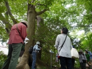 「とよはしの巨木・名木100選」豊橋公園のクロマツ2