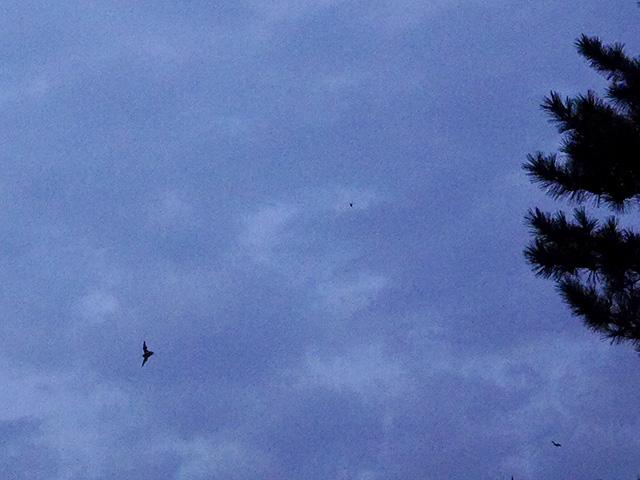 アブラコウモリの画像 p1_22