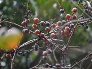 マメガキの果実