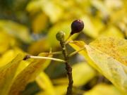 イヌビワの果実と冬芽