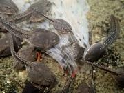 葉を食べるヤマアカガエルのオタマジャクシ