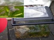 カエルになった沖野のオタマジャクシ