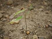 シラカシの幼樹