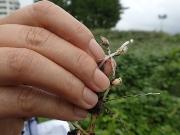 マルバツユクサの根につく閉鎖花