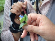 ツユクサの花のつくりを説明