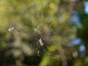 ジョロウグモのメスとオス