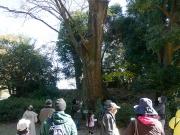 とよはしの巨木・名木の豊橋公園のケヤキ2