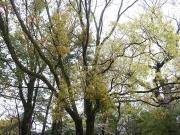 クスノキの春の落葉