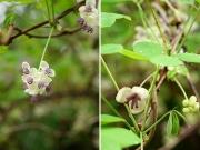 アケビの雄花と雌花